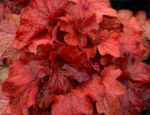 Fire Alarm Heuchera