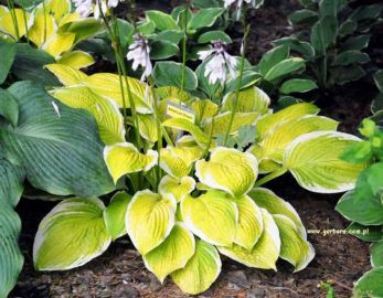 American Dream Hosta