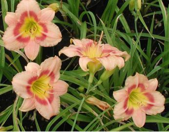 Buffys Doll Hemerocallis