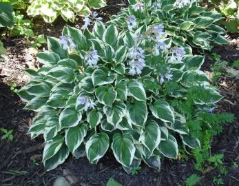 Fair Maiden Hosta