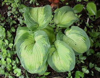Borwick Beauty Hosta