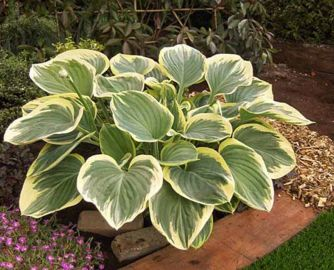 Clifford's Forest Fire Hosta