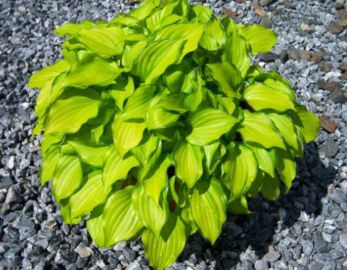Cracker Crumbs Hosta