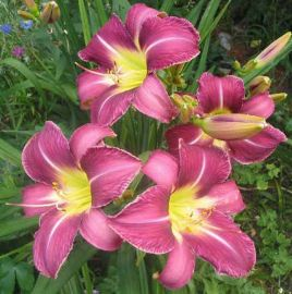 Lawender Deal Hemerocallis