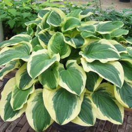 Diana Remembered Hosta