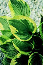 Dust Devil Hosta