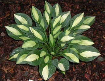Gypsy Rose Hosta