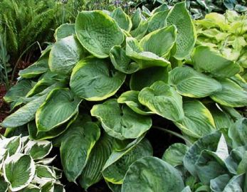 Lady Isobel Barnett Hosta