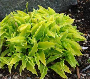 Lemon Lime Hosta