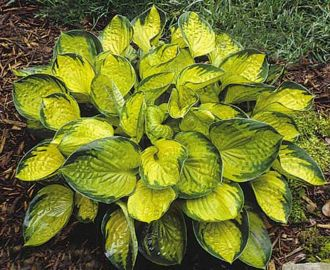 Raiforest Sunrise Hosta