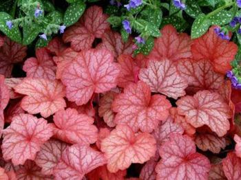 Georgia Peach Heuchera