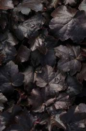 Black Out Heuchera