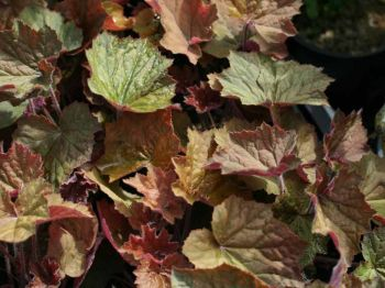 Brownies Heuchera