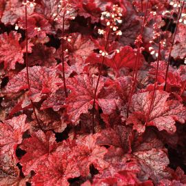 Cajun Fire Heuchera