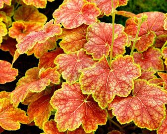 Delta Dawn Heuchera