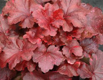Galaxy Heuchera