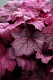 Georgia Plum Heuchera