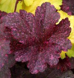 Midnight Rose Heuchera