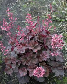 Cassis Heuchera NEW 2014