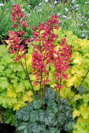Paris Heuchera