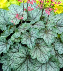 Peppermint Spice Heuchera