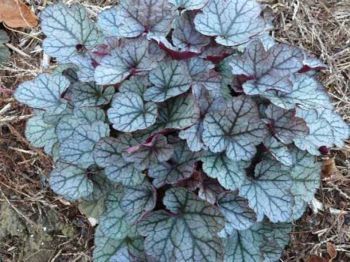 Prince of Silver Heuchera