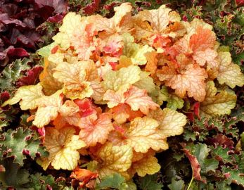 Midas Touch Heuchera