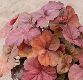 Apricot Heuchera NEW 2014