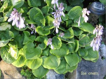 Ice Cream Hosta