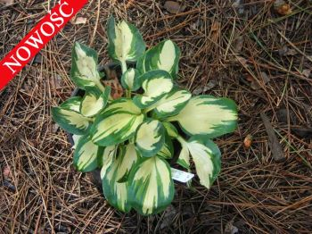 Eleanor Lachman Funkia Hosta