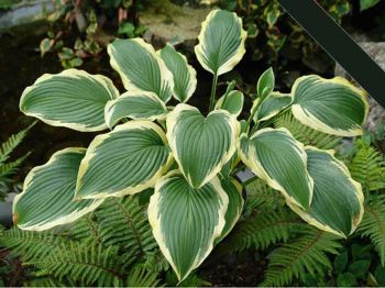 Lakeside Ring Master  Hosta