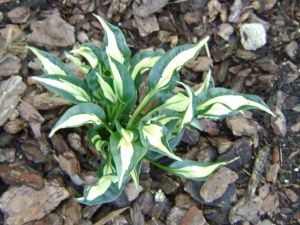 Little Caesar Hosta