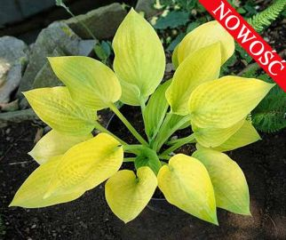 Chesterland Gold Hosta