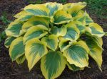 Liberty Funkia (Hosta)