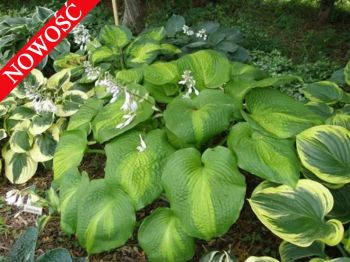Five O\'Clock Somewhere Funkia Hosta